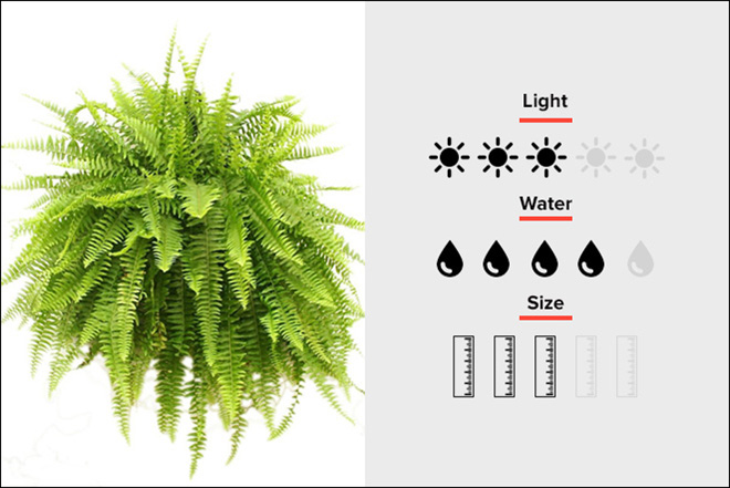 Boston Fern 01
