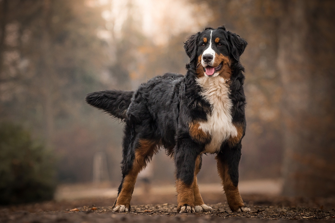 Mountain Dog Bernese Rescue