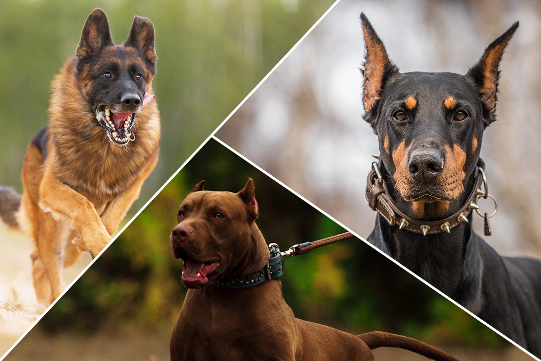 12 Best Guard Dog Breeds For Protection | HiConsumption