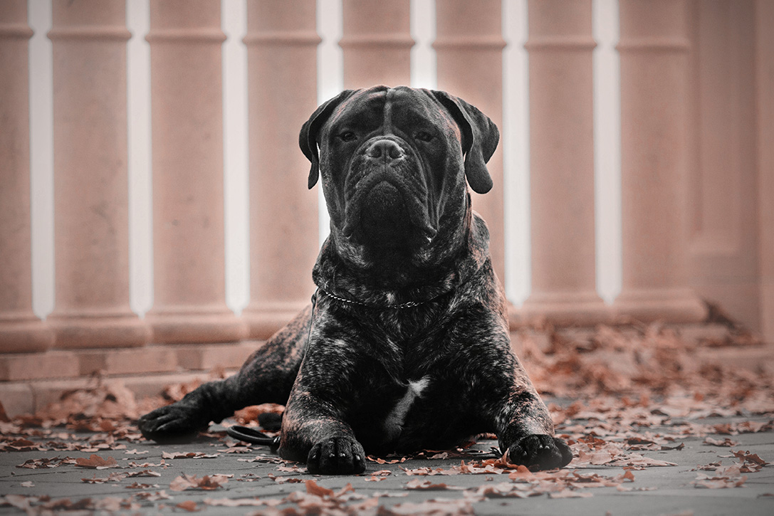 Best Large Dog Breeds For Protection