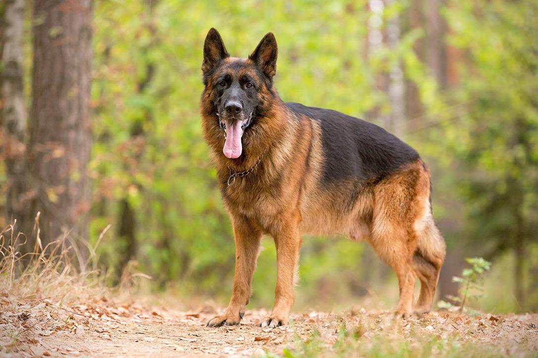 Best Dog Breeds For Disabled