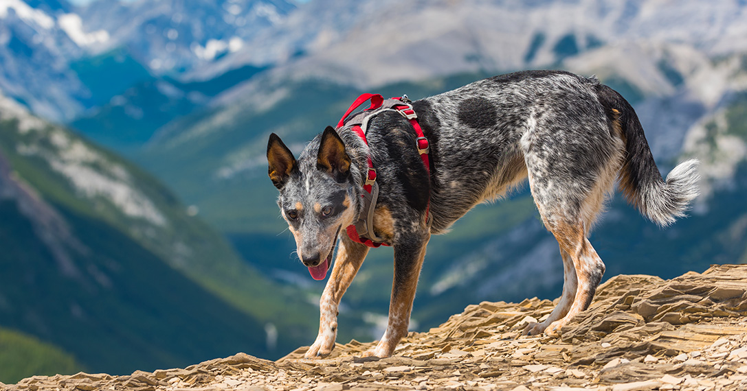 Buddy System 10 Best Dog Harnesses For Hiking Hiconsumption